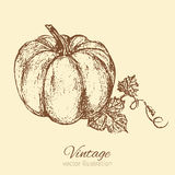 Pumpkin vector illustration isolated on background, graphic sketch, food ingredients for menu, card, farmer market Royalty Free Stock Photos