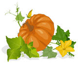 Pumpkin vector illustration Royalty Free Stock Images