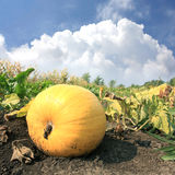 Pumpkin on vegetable garden Stock Images