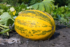 Pumpkin on vegetable garden Royalty Free Stock Photos