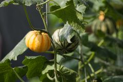 Pumpkin In Vegetable Garden Royalty Free Stock Photo