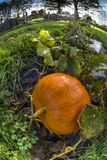 Pumpkin, vegetable garden, tarpaulin, orange, stem, grass, homeg. Single gorgeous pumpkin growing on a vegetable garden on tarpaulin. Autumn in France. Fish-eye Stock Photo