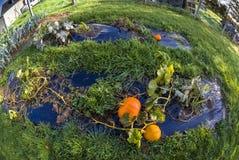 Pumpkin, vegetable garden, tarpaulin, orange, stem, homegrown pr. Pumpkins growing on a  vegetable garden on tarpaulin. Autumn in France. Fish-eye lens Royalty Free Stock Photography
