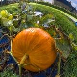 Pumpkin, vegetable garden, tarpaulin, orange, stem, homegrown pr. Single gorgeous pumpkin growing on a vegetable garden on tarpaulin. Autumn in France. Fish-eye Royalty Free Stock Photo