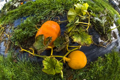 Pumpkin, vegetable garden, tarpaulin, orange, stem, homegrown pr Royalty Free Stock Image