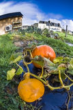 Pumpkin, vegetable garden, tarpaulin, orange, stem, homegrown pr Stock Image