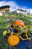 Pumpkin, vegetable garden, tarpaulin, orange, stem, homegrown pr. Two pumpkins growing on a vegetable garden on tarpaulin. Autumn in France. Fsih-eye lens Stock Image