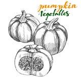 Pumpkin vegetable set hand drawn vector illustration realistic sketch Stock Images