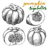 Pumpkin vegetable set hand drawn vector illustration realistic sketch Stock Photos