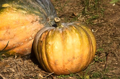 Pumpkin,biological,vegetables,food,ingredient,organic. Pumpkins on the ground with dry grass Royalty Free Stock Photo