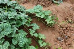 Pumpkin vine royalty free stock images