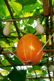 Pumpkin on the vine Stock Photography