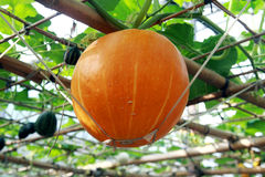 Pumpkin on the vine Royalty Free Stock Photography