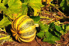 Pumpkin on Vine Royalty Free Stock Photo