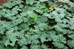 Pumpkin vine 2 Stock Image