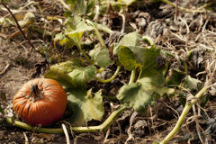 Pumpkin on a vine Stock Photography