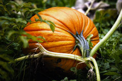 Pumpkin on Vine Royalty Free Stock Photos