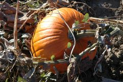 Pumpkin on the Vine. Here's a photograph I took of a pumpkin just days before Halloween 2004...It was still on the vine.  Hawkestone, Ontario Canada Stock Photography