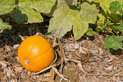 Pumpkin on the vine Stock Image