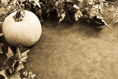 Pumpkin Vine Background Stock Photography