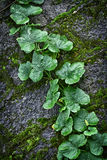 Pumpkin vine Stock Images