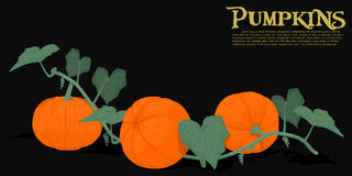 Pumpkin on vine Royalty Free Stock Image