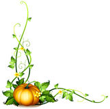 A pumpkin vine decor. Illustration of a pumpkin vine decor on a white background Stock Image