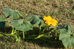 Pumpkin Vine And Flower Royalty Free Stock Image
