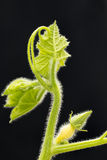 Pumpkin vine and fruit Royalty Free Stock Photos