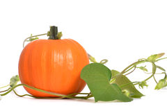Pumpkin Vine Royalty Free Stock Photos