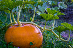 Pumpkin on vine Royalty Free Stock Photos