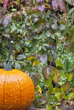 Pumpkin and vine in the rain Royalty Free Stock Images