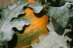 Pumpkin on vine Stock Image