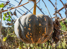 Pumpkin on the vine Royalty Free Stock Image