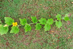 Pumpkin vine Royalty Free Stock Photos