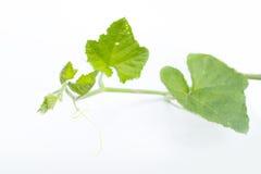 Pumpkin vine Stock Image