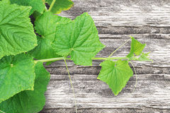 Pumpkin Vine with white background. Royalty Free Stock Images