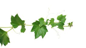 Free Pumpkin Vine With Green Leaves And Tendrils Isolated On White Background, Clipping Path Included Stock Photo - 155747750