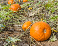 Pumpkin vines and pumpkins Stock Photos