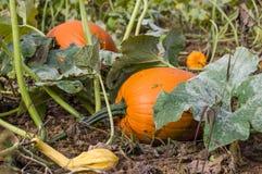Pumpkin vines and pumpkins Stock Images