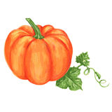 Pumpkin watercolor vector illustration isolated on white background Royalty Free Stock Image