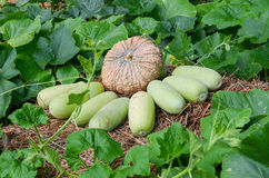 Pumpkin and wax gourd Stock Photography