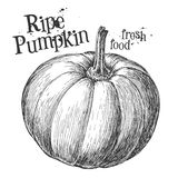 Pumpkin on a white background. sketch Stock Image