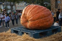 A huge pumpkin. Pumpkin winner of a contest in a little village of the north of spain with a total weight of about 400kg Stock Image