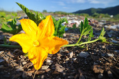 Pumpkin yellow flower Royalty Free Stock Images