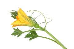 Pumpkin yellow flower Royalty Free Stock Photo