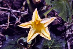 Pumpkin or zucchini plant growing in black earth, leaves and big yellow flower. Top view stock photos