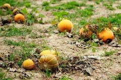 Pumpkings orange Photos libres de droits