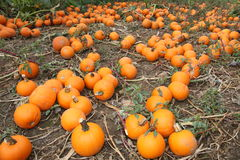 Pumpkins. Many freshly harvested orange pumpkins on the ground Royalty Free Stock Photos