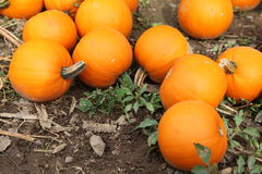 Pumpkins. An assortment of small pumpkins Stock Image